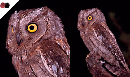 Autillo europeo (Otus scops)