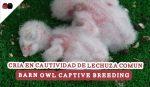 cria_en_cautividad_de_lechuza_comun