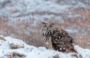 11 Jose Manuel Castrillo - Buho Real nieve