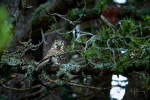 21 Mochuelo boreal / Tengmalm's Owl / Mussol pirinenc Aegolius funereus